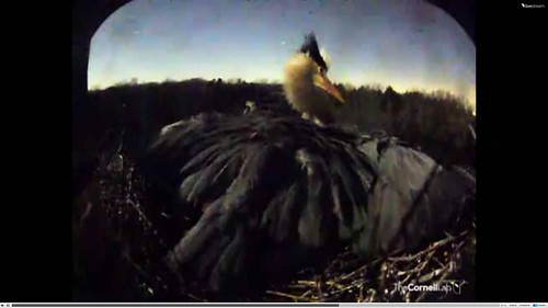 Great Blue Heron after owl attack