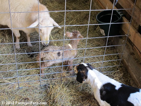 Wednesday random lamb photos 1 - FarmgirlFare.com