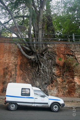 A Tree on the Wall, Havana, Cuba