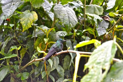 hummingbirds of costa rica monteverde