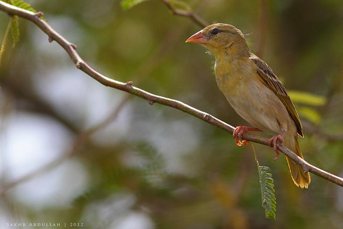 Ruppell's Weaver - Female : أنثى النساج