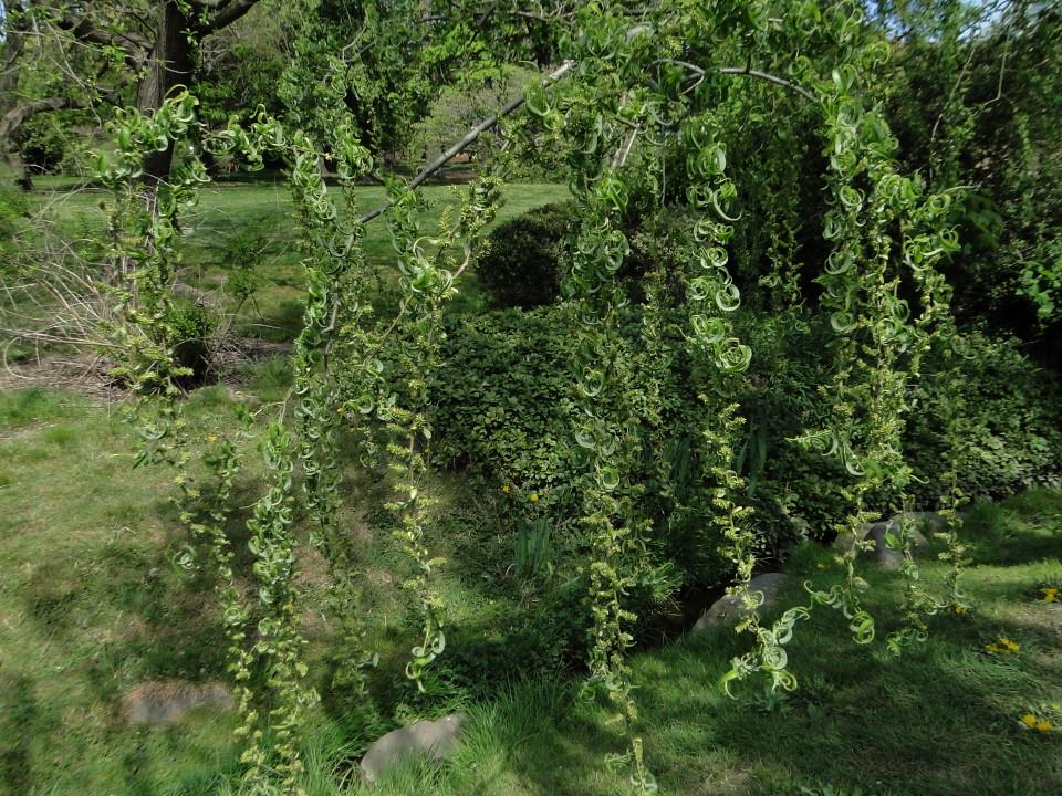 6-77-21apr12_3697_Botanical_garden weeping willow