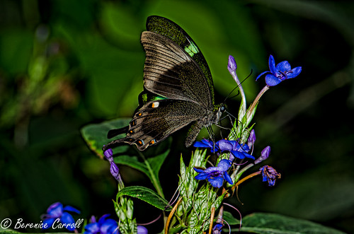 Green-Barred Swallowtail Butterfly(Papilio Palinurus)