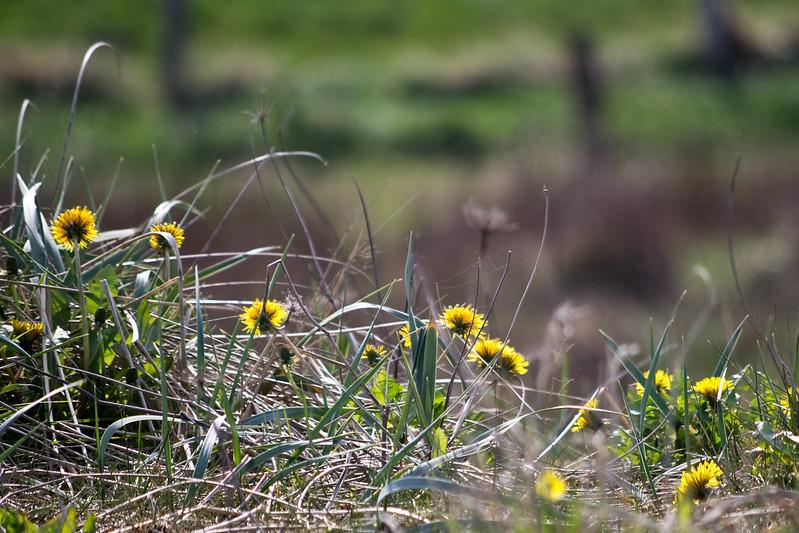 Gras und Löwenzahn