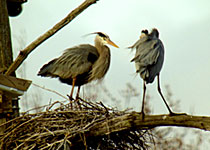 Herons at Sapsucker Woods