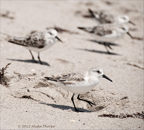 Carlin Park, sanderlings by Alida's Photos