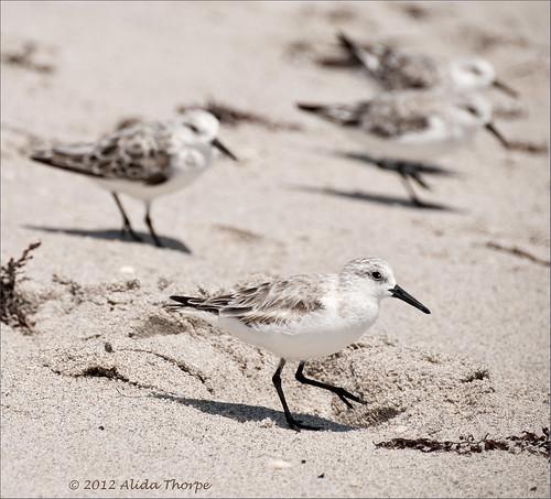 Carlin Park, sanderlings