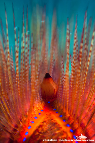 Sea Urchin - Lensbaby macro - Lembeh
