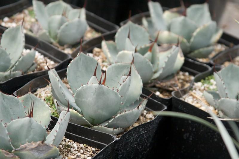 cactus  1568