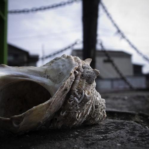 Sazae Shell サザエ (Turban Shell)