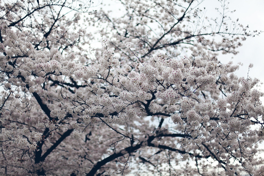 sakura_6870