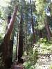Pathway beneath redwoods
