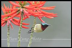 Sunbird  (3)