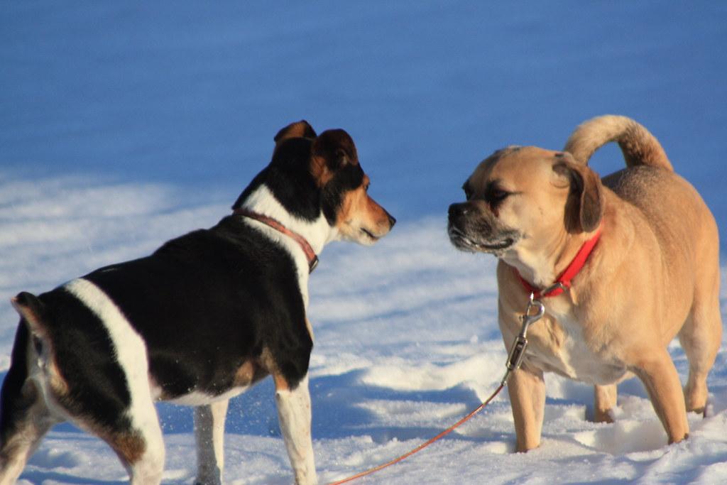 Купирование мешает коммуникации собак
