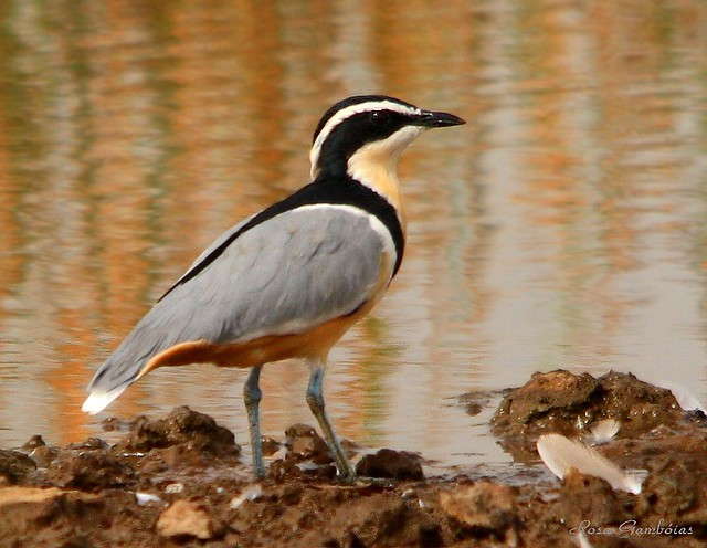 nile crocodile and egyptian plover symbiotic relationship