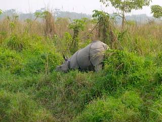 Asian One-horned Rhino