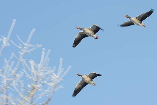 hoar frost geese 11 02 12