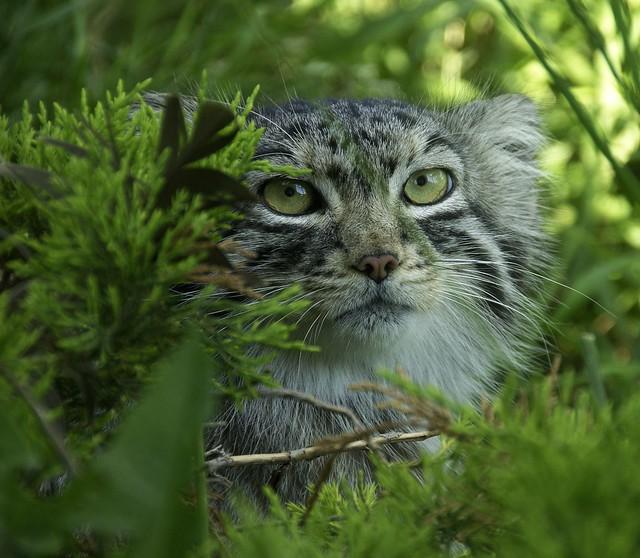 Pallas Cat WLD_7566