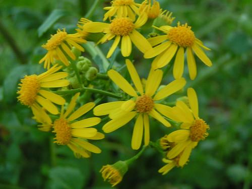 louisiana plant