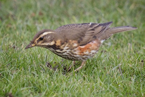 Redwing Hunting For Worms by TheUnseenScene (previously AnnerleyIRMacro)