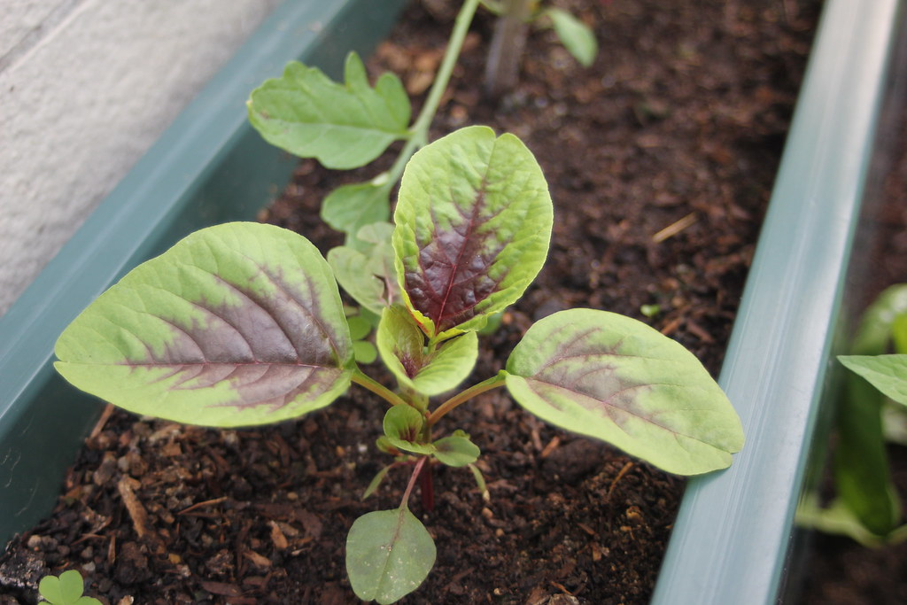 amaranth leaves raw