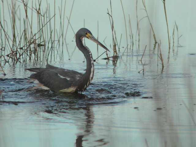 Tricolored Heron 20120218