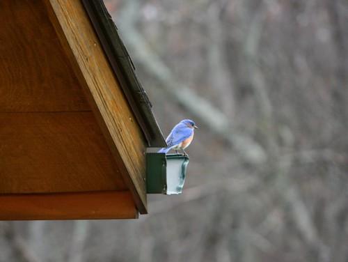 BluebirdEaveMarch2012