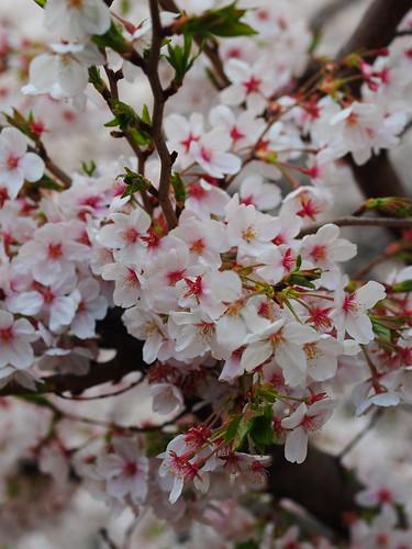 桜 2012 目黒川