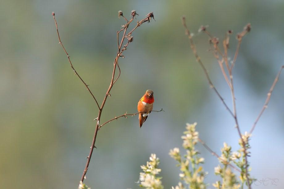 Allen's Hummingbird 022012