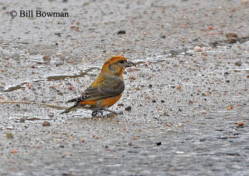 Red-Crossbill-DSC_0154