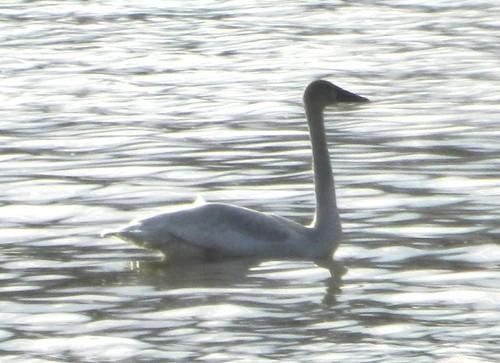 Imm. Tundra Swan