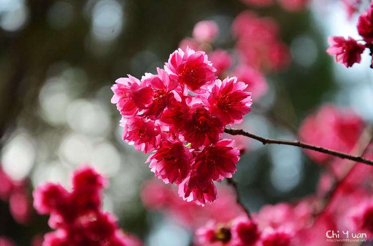 九族文化村櫻花祭-日10.jpg