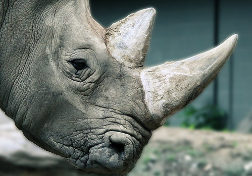 Rhino Head Closeup.
