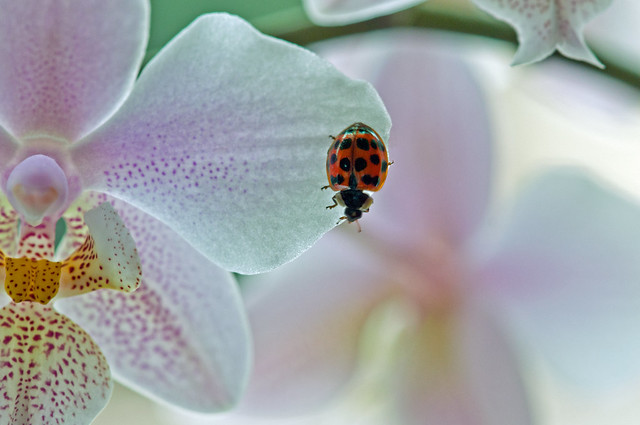 165/365 The orchid and the ladybird