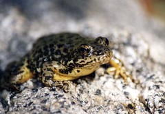 Mountain Yellow Legged Frog