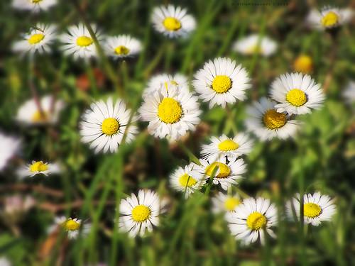 Soft radiant daisies