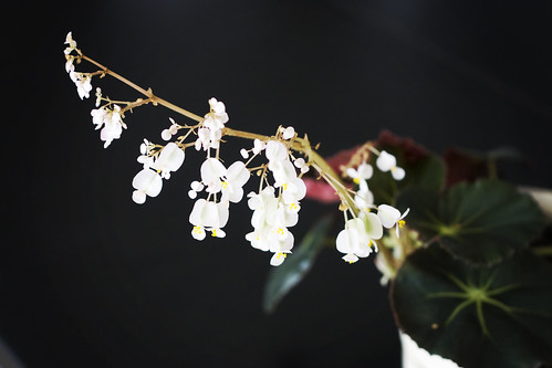 Pretty Flowering Houseplant