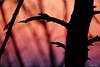 silhouette pino D'Austria
