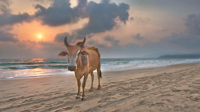 Agonda Beach Cow