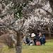 松江城 椿谷の梅
