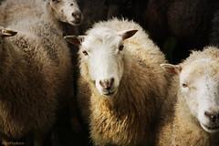 *sheep*