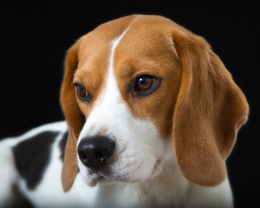 порода бигль собака