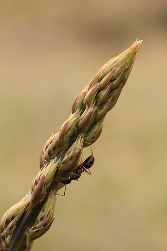 Espárrago con hormiga - Villamuelas