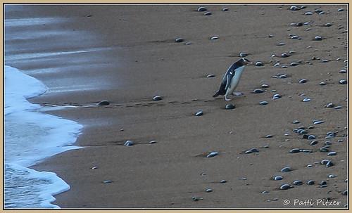newzealand bird penguin southisland otago oamaru yelloweyedpenguin