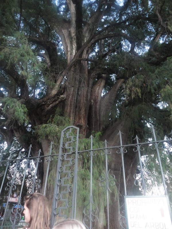 arbre-oaxaca.jpg