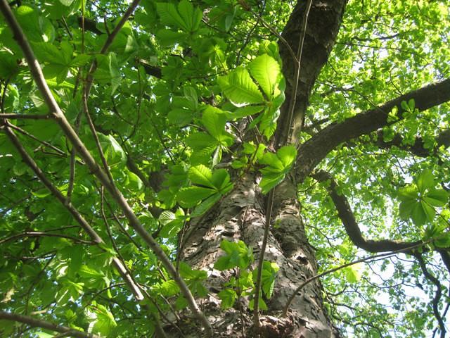 Kastanjetræ