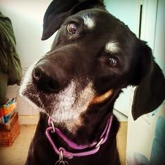 Lola wants to know if you heard... The #bruins won! #GoBs #dogstagram #dobermanmix #rescued #dobiemix #bostonbruins #seniordog #seniorpet