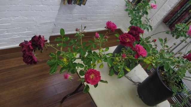 IMG_9298 raffle rose