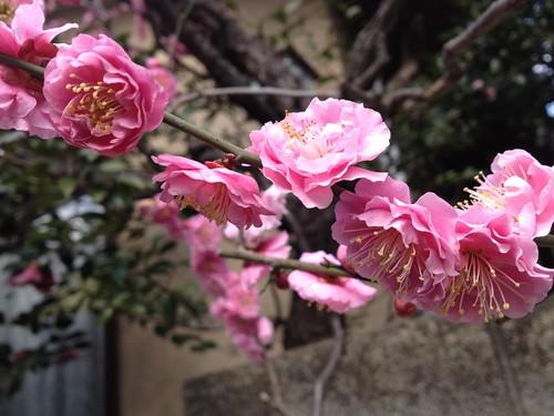 梅の花アップその2
