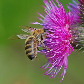 A honey bee working on a Spear Thistle.